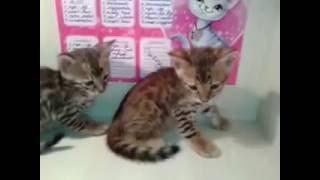 бенгальские котята 3 и 4
