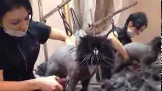 Стрижка кота это не страшно)funny cat grooming by Alma Raune
