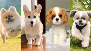 Small Dog breeds that Stay small and dont Shed [Top 10 Small Dog Breeds for Families]