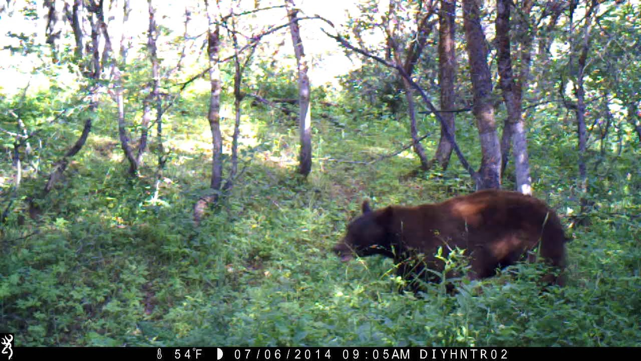 Black Bears in Northern Utah - Caught on Browning Trail Cameras
