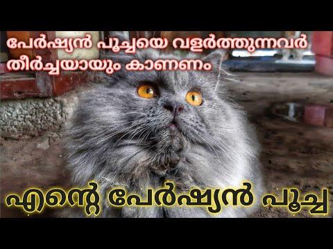 How to care Persian Cats in Malayalam  | പേർഷ്യൻ പൂച്ചയെ എങ്ങനെ പരിപാലിക്കാം