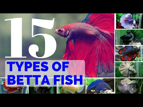 15 Types of  BETTA FISH