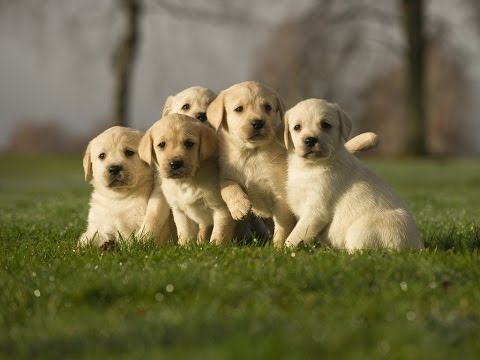 Golden Labrador Puppies Available 39 Days Old