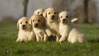 Video Golden Labrador Puppies Available 39 Days Old download MP3, 3GP, MP4, WEBM, AVI, FLV Agustus 2018
