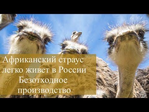 Африканские страусы легко живут в России. Их мясо, кожа, яйца и перья - безотходное производство