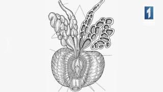 Предстательная железа или простата