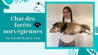 MEET MY LARGE CAT [NORWEGIAN FOREST CAT]