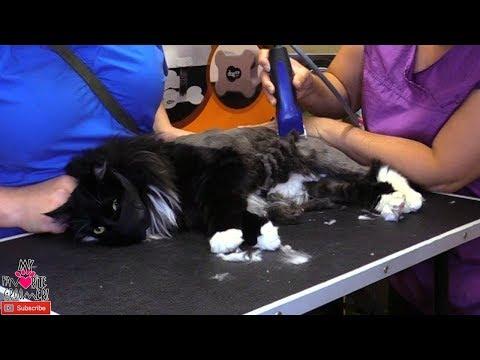 cat-groom-complete-shavedown