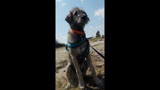 Irish Wolfhound Fiona's Strandspass