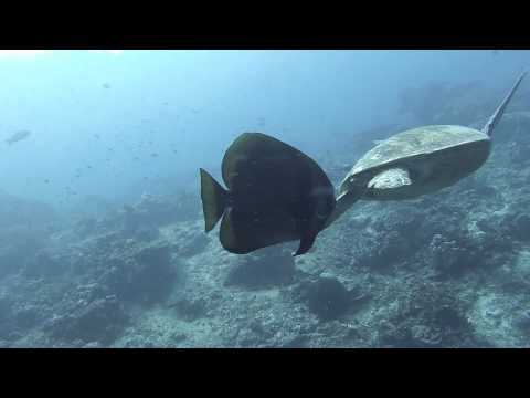 A bat fish eats a turtle 39 s poo directly from its bum for Fish eating bat