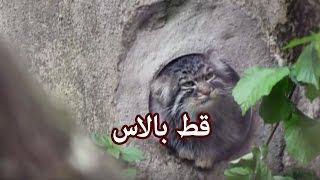 حيوانات - قط  بالاس