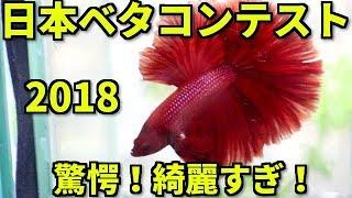 動画説明:日本ベタコンテスト2018に参加しました!エビオドリの成績は...