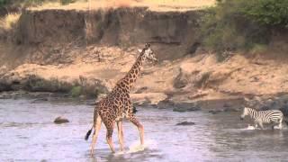 Giraffe Crossing the Mara River