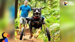 今日もいつも元気いっぱい!どこでも行くよ、何でもするよ!車椅子で自由自在に走り回る犬