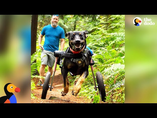 Dog Gets SO Excited To Go Hiking In Her Wheelchair | The Dodo