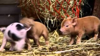 Combat de mini cochons ! - ZAPPING SAUVAGE