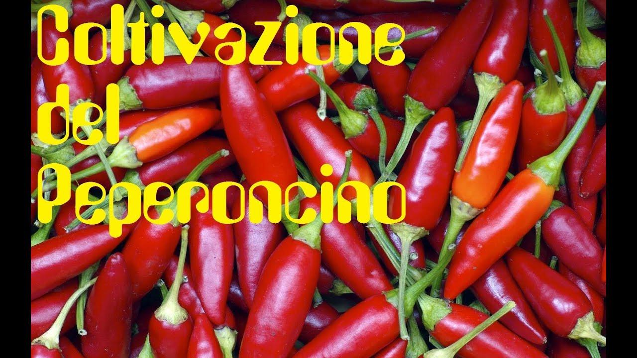 Coltivazione del peperoncino bio in vaso o in terra for Peperoncino in vaso