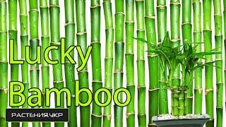видео комнатное растение бамбук уход