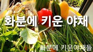 #잘잘텃밭 #화분에키운야채  수확영상 입니다 시청해주셔…