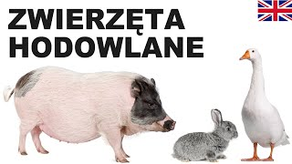 Learn Polish Vocabulary - Farm animals 2 (Zwierzęta hodowlane)