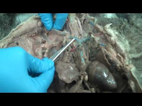 Cat anatomy thoracic cavity and heart