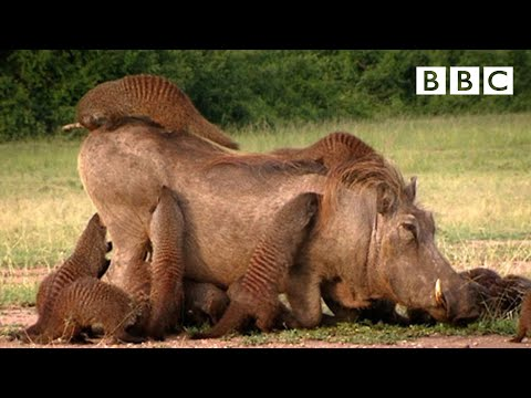 This Warthog took a trip to the Mongoose Spa | Banded Brothers - BBC