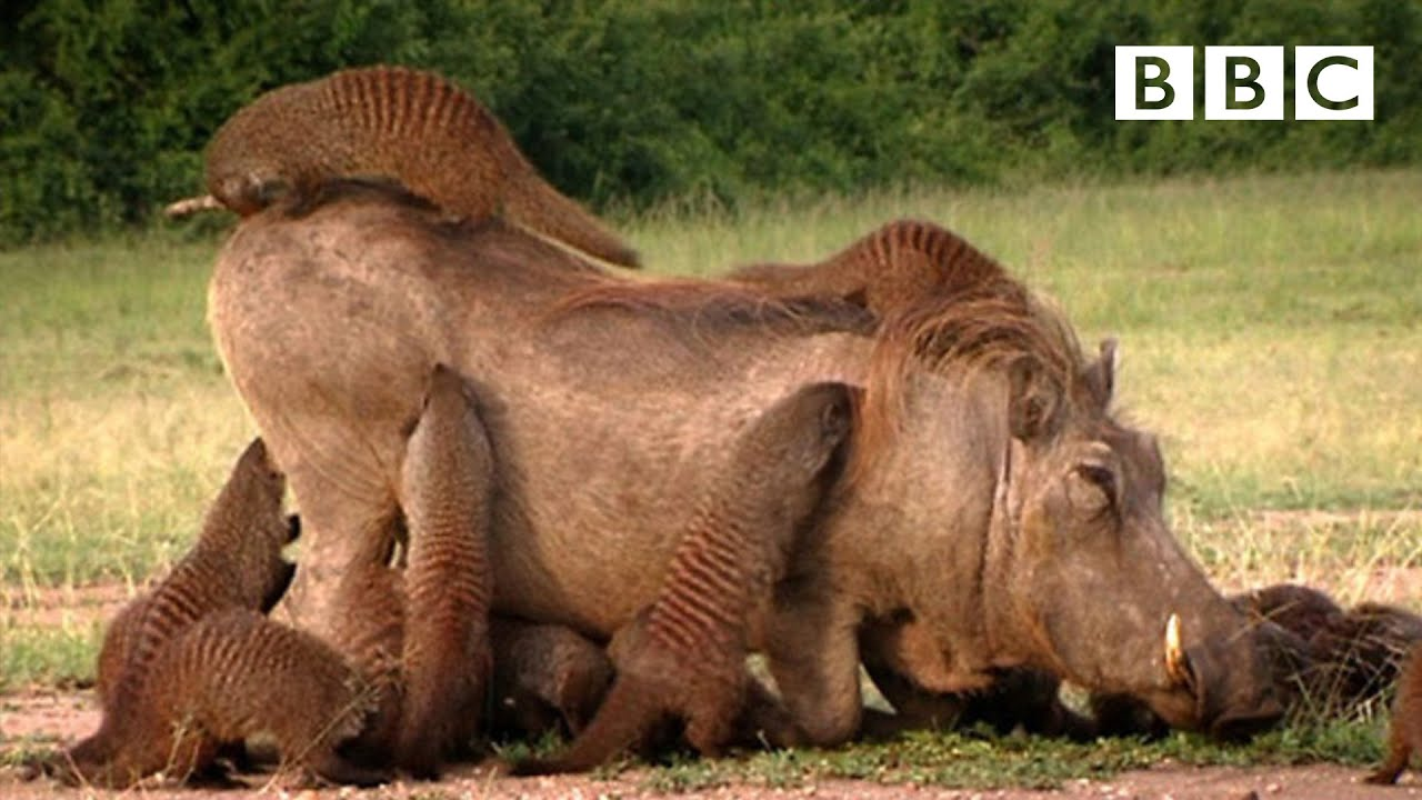 Download This Warthog took a trip to the Mongoose Spa | Banded Brothers - BBC