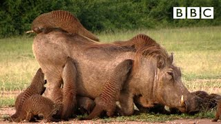 Video A Warthog Spa - Banded Brothers - Series 1 Episode 1 Preview - BBC Two download MP3, 3GP, MP4, WEBM, AVI, FLV Juni 2018