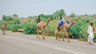 Camel baby is trying to reach his Mother and Father