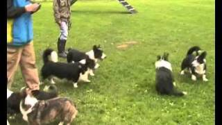 Welsh Corgi Cardigan Get Together Fromax Kennel