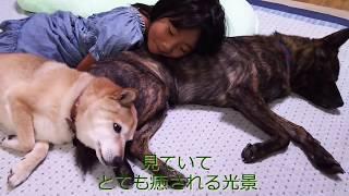 毎日繰り返される幼い甲斐犬と老いた柴犬の壮絶バトル(2016年当時) ↓...