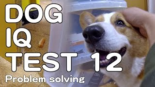 The Canine Iq Test 12 Problem Solving 問題解決能力 Goro@welsh Corgi コーギー Dog K9