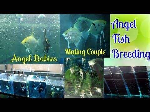 Angel Fish Breeding