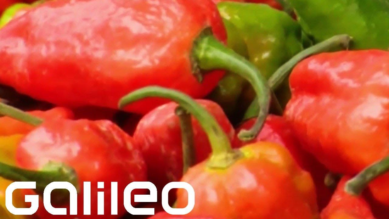 Schärfste Chili Der Welt