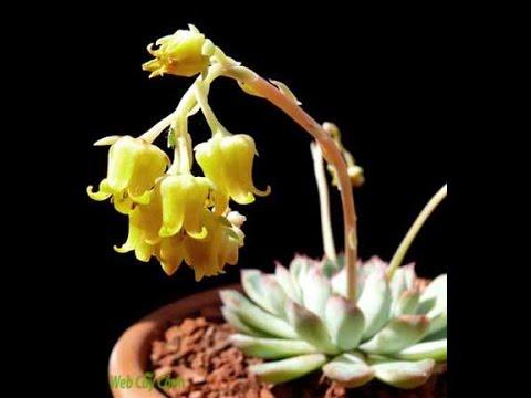 Giới thiệu về các loại hoa sen đá Hà Nội ( webcaycanh.com )
