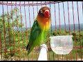 Sekali Pancing Saja 100 Jitu Memancing Lovebird Sf Ngetik Dan Ngekek Panjang Gacor(.mp3 .mp4) Mp3 - Mp4 Download