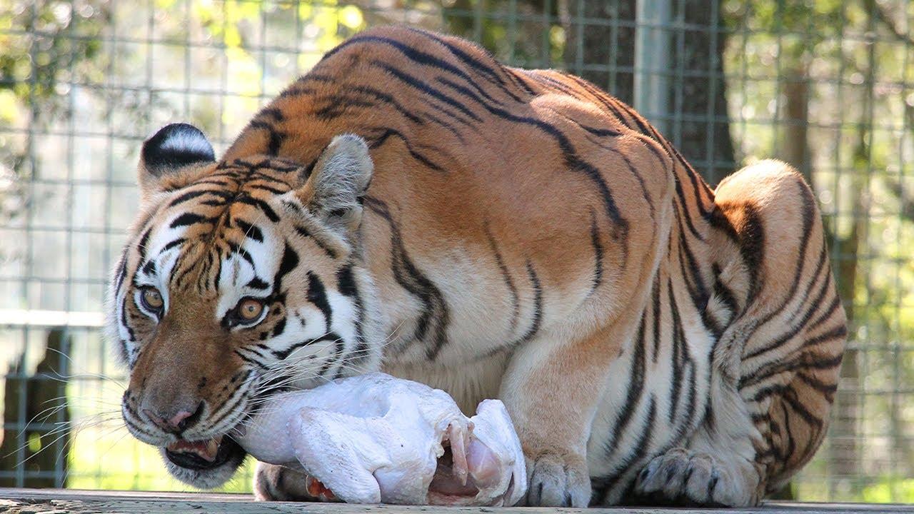 Big Cats Eating Bones? - FAQ Friday