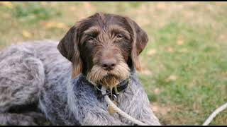 Hunting Gun Dogs (Pointers)