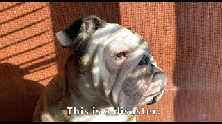 Reuben the Bulldog: The Ear Infection