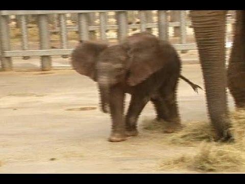 Anak Gajah Menggemaskan Pengunjung Kebun Binatang Perancis