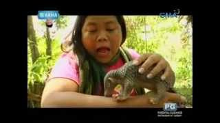 Gambar cover Ang endangered animal na pangolin o balintong, kinilala ni Maey B.