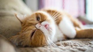Экзоты, Порода кошек, описание, уход