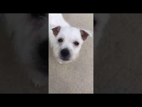 Montgomery AL - West highland white terrier (Westie) Dog For Adoption in Troy AL