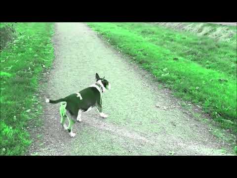 Miniatur Bullterrier Bulli geht spazieren