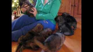 Virginia's Pride Kennel ~ L2 Litter ~ German Shepherd Dog Puppies