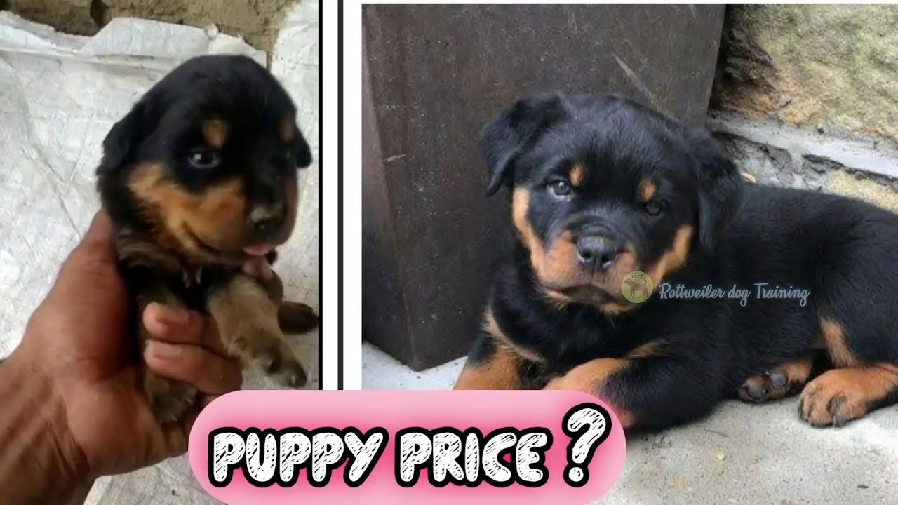 Rottweiler dog puppys Sale in Guntur || Telugu || Rottweiler dog training