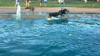 Smokey Swiming At Houston Dog Park