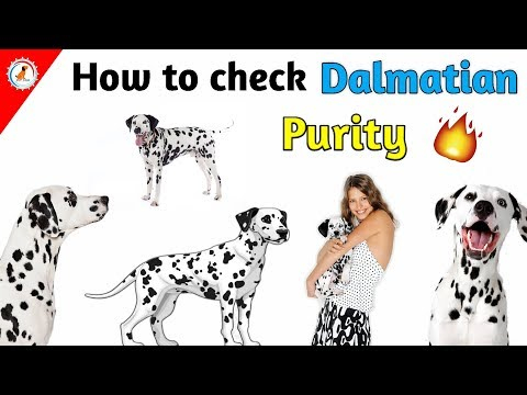How To Check Purity of  Dalmatian / In Hindi / How to check Dalmatian purity/
