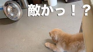 立てかけた餌皿にびっくりする子犬