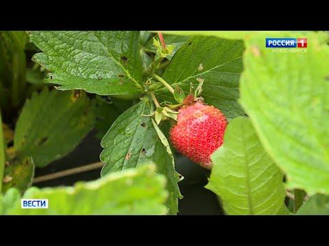 В хозяйствах Новосибирской области начинают сбор земляники